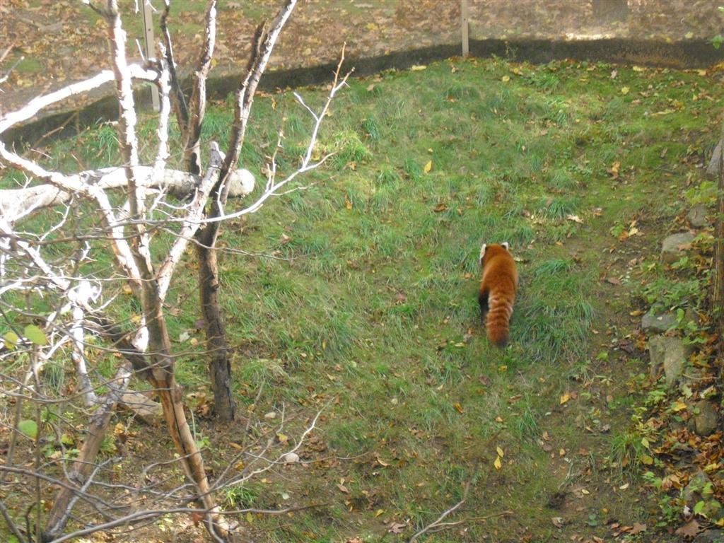 Rode pandabeer Bronx Zoo