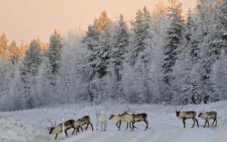 reindeer-lapland_1243138c