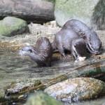 Otters in Dierentuin Emmen