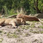 Leeuwen in Dierentuin Emmen