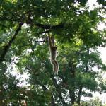 Slingerende aap in Dierentuin Emmen