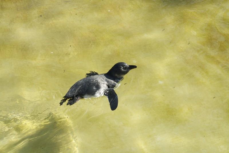 Pinguin Artis