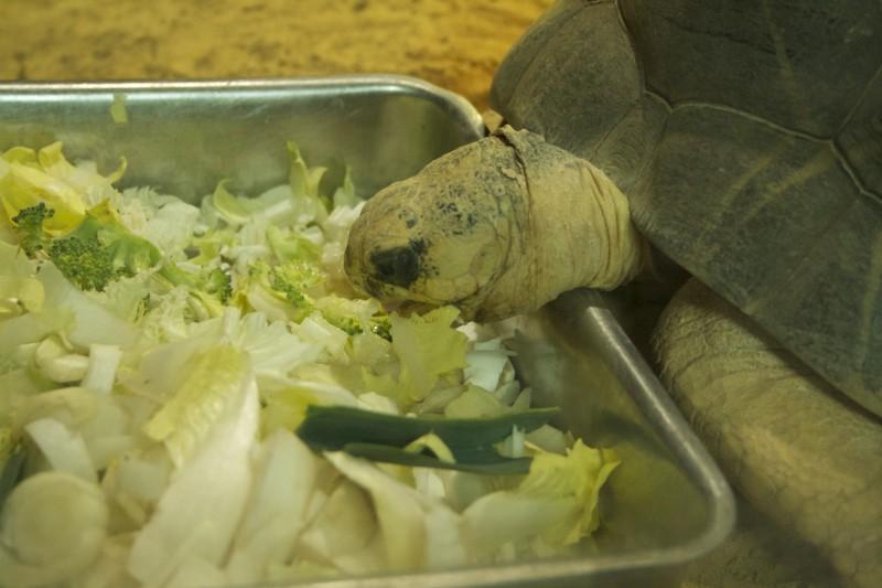 Schildpad Artis