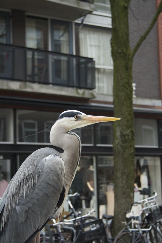 Reiger op auto Amsterdam