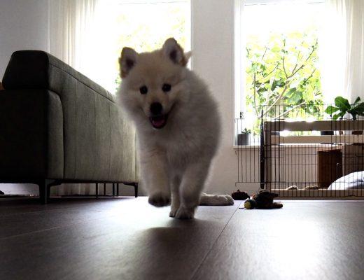 Bokko de Finse Lappenhond